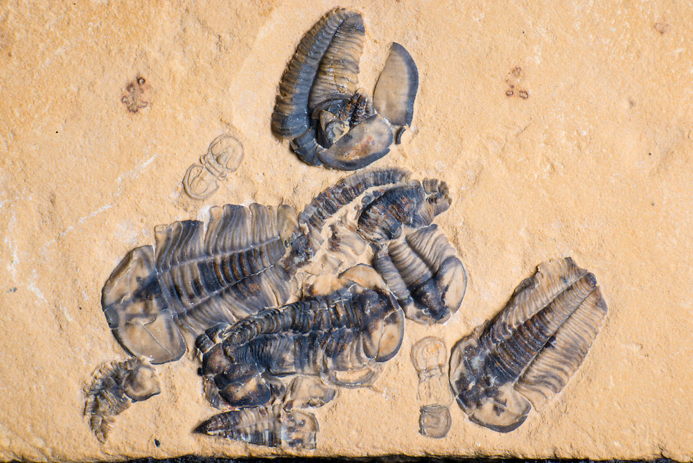 Death assemblage of trilobites with three complete and partial Ammagnostus laiwuensis (3-4mm long) and a dozen complete and partial Dresbachia amata trilobites (up to 11mm long)