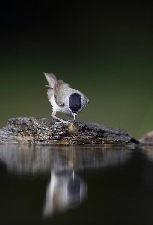 Blackcap (Sylvia atricapilla) Pusztaszer Nature Reserve, Hungary