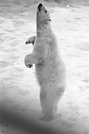 Schweden, SWE, Kolmarden, 2000: Ein Eisbaer (Ursus maritimus) steht auf seinen Hinterbeinen und schnueffelt neugierig umher, Kolmardens Djurpark. | Sweden, SWE, Kolmarden, 2000: Polar bear, Ursus maritimus, standing on hind legs, curious sniffing the air, Kolmardens Djurpark. |