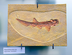 15.03.2016, Museum fuer Naturkunde, Berlin, GER, Naturkundemuseum Berlin, im Bild Versteinerung eines Urgrundhai (Paraorthacodus spec.) // Exhibits in the Natural History Museum Museum fuer Naturkunde in Berlin, Germany on 2016/03/15. EXPA Pictures © 2016, PhotoCredit: EXPA/ Eibner-Pressefoto/ Schulz<br /> <br /> *****ATTENTION - OUT of GER*****