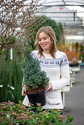Choosing a conifer as an alternative Christmas tree. Picea glauca 'Sander's Blue'