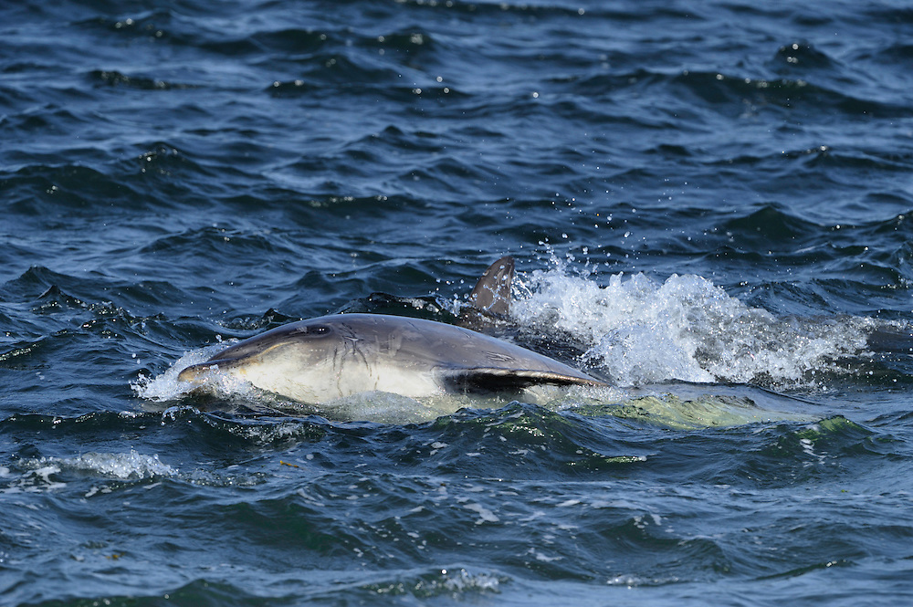 Adult Bottle-nosed Dolphin rolling in water,<br /> Tursiops truncatus,<br /> Moray Firth, Nr Inverness, Scotland - May