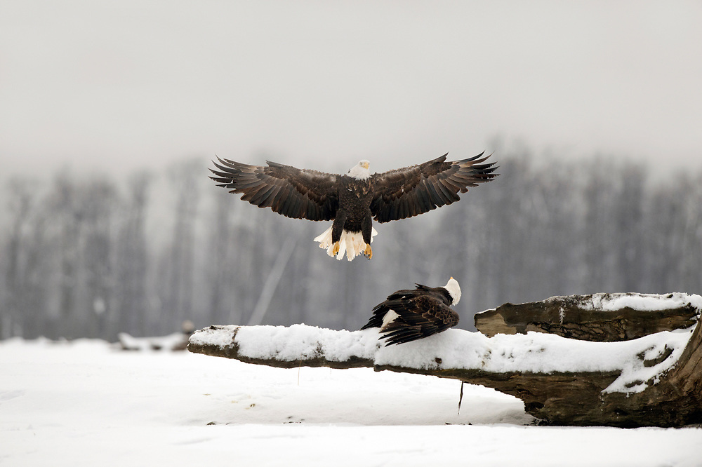 Adult bald eagle about to land on a log occupied by a second eagle