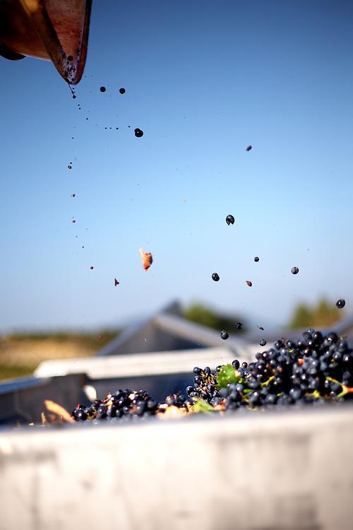 24/09/09 PAZIOLS (FRANCIA).Septiembre es el mes de máximo apogeo de la vendimia. Paziols está en el departamento del Aude, en la región del Llenguadoc-Roussillon, donde se cultivan numerosas variedades de uvas, merlot, cabernet sauvignon, sauvignon blanco, chardonnay, garnacha y syrah, entre muchas otras. El trabajo entre viñas se alargará hasta octubre y, después, llega la vuelta a casa, a Alcalá del Valle, a tomarse un respiro antes de prepararse para ir a la aceituna en los olivares andaluces. .FOTO: TONI VILCHES.