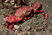 Rournd Crab.(Carpilius convexus).Lembeh Straits, Indonesia
