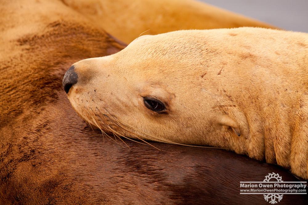 Female Steller Sea Lion rests on the back of another sea lion in St. Herman Harbor, Kodiak Island, Alaska.