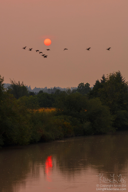 The sun, dramatically reddened by smoke from extensive wildfires, is partially reflected in the Puyallup River in Puyallup, Washington, as a flock of Canada geese flies by.
