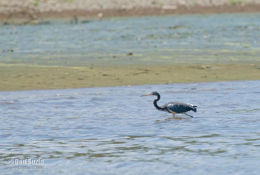 Tricolored heron, Egretta tricolor, near the shore of the Tarcoles River, Costa Rica