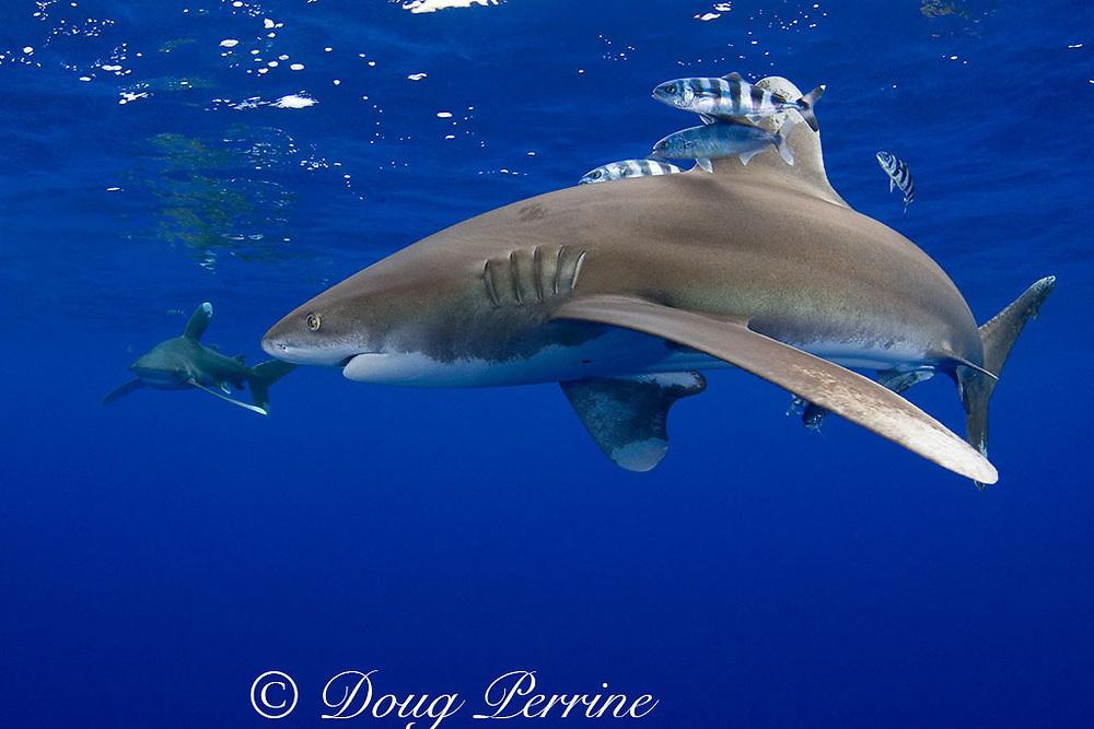 oceanic whitetip sharks ( Carcharhinus longimanus ) with pilot fish ( Naucrates ductor ) Kona Coast, Hawaii Island ( the Big Island ) Hawaiian Islands ( Central Pacific Ocean )