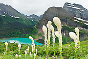"Angel Wing and Mount Gould tower over blue-green Grinnell Lake and bear grass on the Grinnell Glacier Trail in Glacier National Park, Montana, USA. Bear grass (Xerophyllum tenax, or synonym Helonias tenax) is a grasslike perennial in the family Melanthiaceae, closely related to lilies. Bear grass (also called squaw grass, soap grass, quip-quip, and Indian basket grass) thrives after fire clears surface vegetation. Since 1932, Canada and USA have shared Waterton-Glacier International Peace Park, which UNESCO declared a World Heritage Site (1995) containing two Biosphere Reserves (1976). Rocks in the park are primarily sedimentary layers deposited in shallow seas over 1.6 billion to 800 million years ago. During the tectonic formation of the Rocky Mountains 170 million years ago, the Lewis Overthrust displaced these old rocks over newer Cretaceous age rocks. Glaciers carved spectacular U-shaped valleys and pyramidal peaks as recently as the Last Glacial Maximum (the last ""Ice Age"" 25,000 to 13,000 years ago). Of the 150 glaciers existing in the mid 1800s, only 25 named glaciers remain in the park as of 2010, and all may disappear as soon as 2020, say climate scientists."