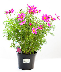 A shop bought cosmos plant in a pot grown on by a garden centre