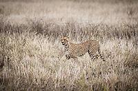 Cheetah, Serengeti National Park, Tanzania.