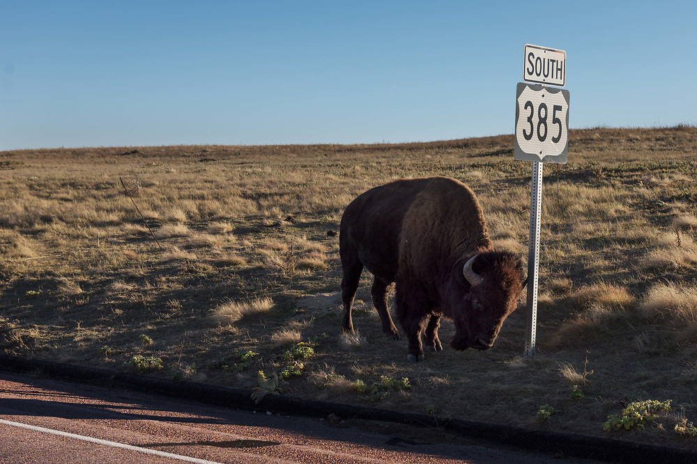 An American Bison rubs itself against a highway sign in Windcave National Park in the Black Hills of South Dakota.