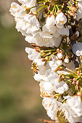 A bee pollinating a cherry blossom.