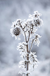 Thistle seedhead covered in hoar frost. Wooly Thistle, Cirsium eriophorum