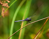 Dragonfly. Image taken with a Nikon D850 camera and 70-300 mm VR lens.
