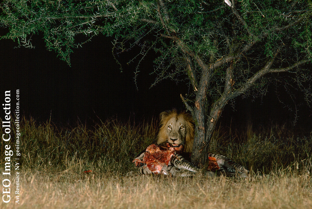 Male African lion eating a zebra at night, under a tree.