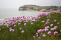 Spring light and colour, Thrift on the cliffs above freshwater bay, isle of wight