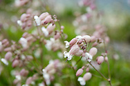Bladder campion (Silene vulgaris), Walthamstow Wetlands, London E17, UK © Rudolf Abraham