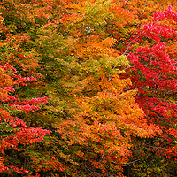 """""""For Your Eyes Only""""<br /> <br /> Feast your eyes upon this row of Maple trees! Gorgeous autumn foliage in a rainbow of colors!!<br /> <br /> Fall Foliage by Rachel Cohen"""