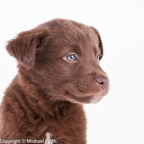 Puppy Winston photographed while waiting for adoption at the Benton-Franklin Humane Society