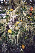 """Orange flowers of parasitic mistletoe (order Santalales) bloom amid a garden of yellow lichen draped over trees in an enchanting Monkey Puzzle Tree forest (Araucaria araucana) in Nahuelbuta National Park, Cordillera de Nahuelbuta, the coast range near Angol (north of Temuco), Chile, South America. Hear the warble of exotic birds as you walk the nature trails. Unfortunately, due to logging, burning, grazing, and habitat conversion to Pinus radiata plantations, Araucaria araucana is listed as an endangered species by CITES (Convention on International Trade in Endangered Species of Wild Fauna and Flora). What international tourist literature calls the """"Chilean Lake District"""" usually refers to the foothills between Temuco and Puerto Montt including three Regions (XIV Los Ríos, IX La Araucanía, and X Los Lagos) in what Chile calls the Zona Sur (Southern Zone)."""