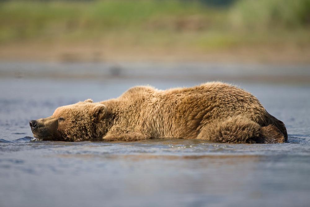 USA, Alaska, Katmai National Park, Brown Bear (Ursus arctos) cools off while resting in stream along Hallo Bay