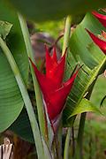 Red Heliconia, Limahuli Garden and Preserve, Haena, Kauai, Hawaii