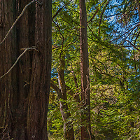 Redwood trunks loom in forest atop the Coastal Mountains along Skyline Drive in the California Bay Area. (El Corte de Madera Creek Open Space Preserve.)
