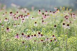 Purple coneflowers on Blackland Prairie, High Point Park and Wildflower Preserve, Farmersville, Texas, USA. Check identification.