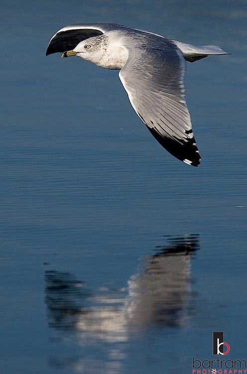 **PLEASE SAVE TO RUN WILD ON C1**..KEVIN BARTRAM/The Daily News.A seagull flies low over Offatt's Bayou early Thursday morning, Dec. 22, 2005.