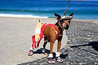 ipanema Chihuahua. surfer dog ready to go on the waves of rio de janeiro