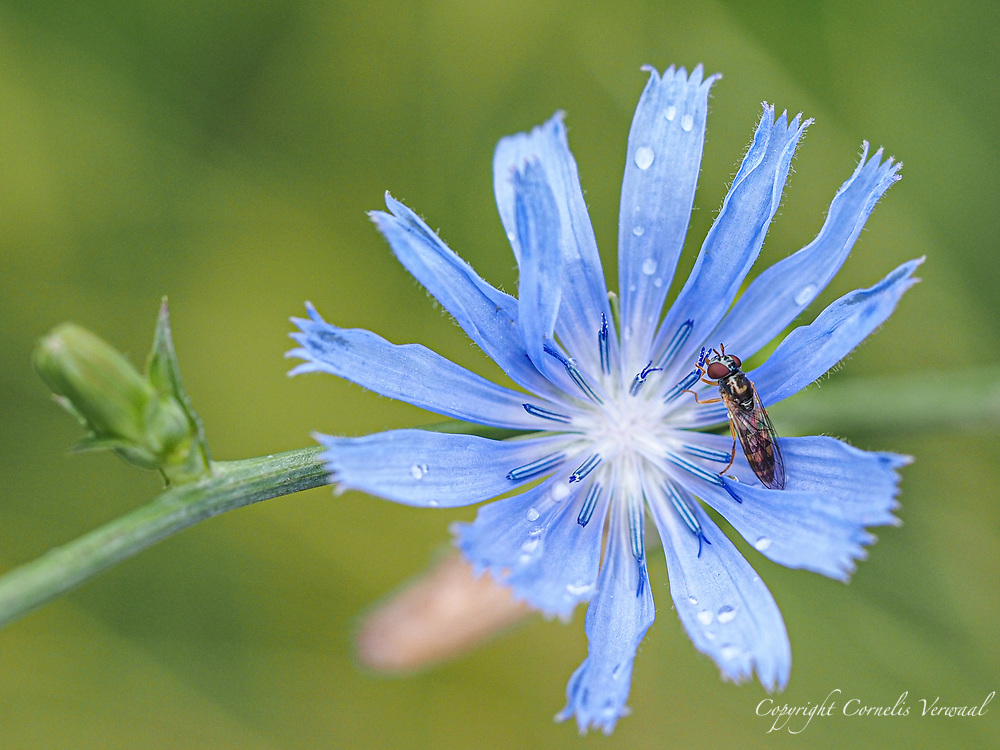 Variable Duskyface Fly (I think) enjoying a Chicory flower along the Reservoir in Central Park today July 3, 2021
