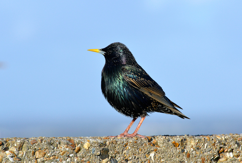 Starling - Sturnus vulgaris. L 20-22cm. Familiar urban and rural bird with swaggering walk. Forms large flocks outside breeding season. Sexes are separable in summer. Adult male in summer has dark plumage with iridescence seen in good light. Legs are reddish and bill is yellow with blue base to lower mandible. Adult female in summer is similar but has some pale spots on underparts and pale yellow base to lower mandible. Winter adult (both sexes) has numerous white spots adorning dark plumage and dark bill. Juvenile is grey-brown, palest on throat; bill is dark; spotted body plumage acquired in winter. Voice Varied repertoire of clicks and whistles including mimicry. Status Widespread and common but declining. Found in all kinds of open habitats in winter. Often nests in house roofs.