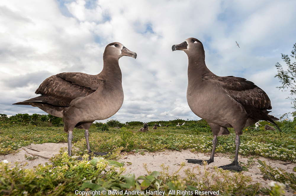 Two standing Black-footed Albatross (Phoebastria nigripes ). Midway Atoll National Wildlife Refuge.