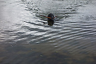 Candy, Margrete and Arne Klakegg's dog, goes for a swim in Gloppenfjorden in Sandane, Norway, on Monday, May 13, 2013.   (© 2013 Cindi Christie/Cyanpixel)