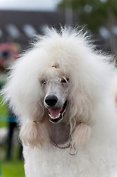 © Licensed to London News Pictures. 20/08/2017. Llanelwedd, Powys, UK. Trilby, a Standard Poodle, enjoys the grooming before judging on the last day of The Welsh Kennel Club Dog Show, held at the Royal Welsh Showground, Llanelwedd in Powys, Wales, UK. Photo credit: Graham M. Lawrence/LNP