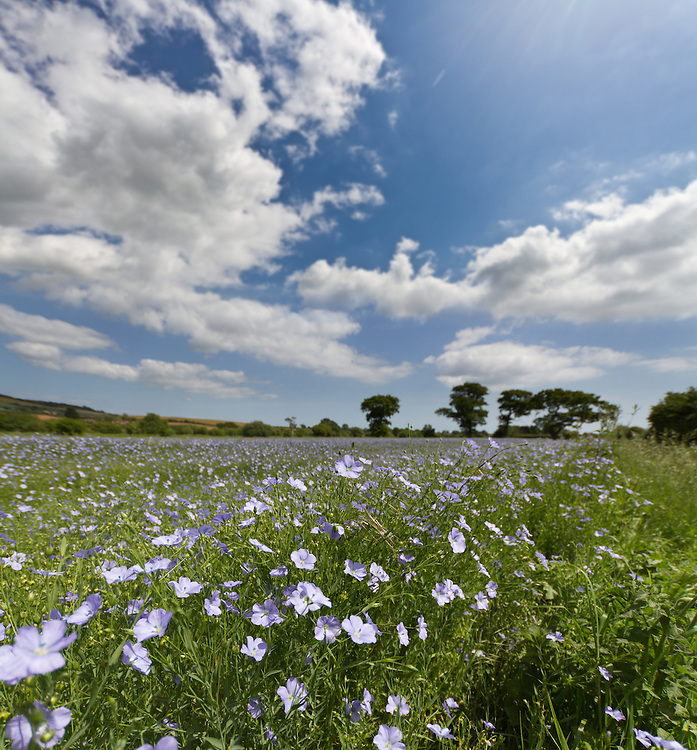 Linseed Flowers on the Isle of Wight