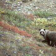 Grizzly Bear (Ursus horribilis) Foraging for berries on tundra. Fall. Denali National Park. Alaska.