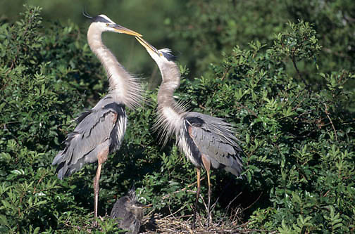 Great Blue Heron, (Ardea herodias) Adults display courtship. Chick in nest. Florida.