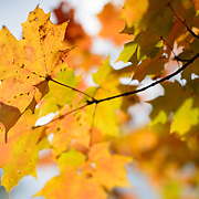 Orange and yellow maple leaves in upstate New York during the Fall.