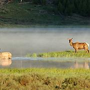 Elk (Cervus elaphus) Yellowstone National Park.