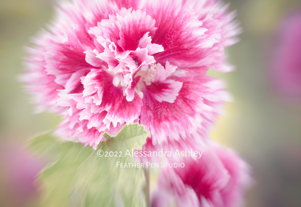 Double hollyhock flowers in full bloom, with radial blur enhancement.