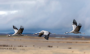 Cranes from the hide