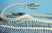 Snake Skeleton, Indian Python, set