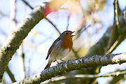 Erithacus rubecula - European Robin singing in a cherry tree