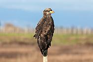A juvenile Bald Eagle (Haliaeetus leucocephalus) perched on a fence post near Boundary Bay in Delta, British Columbia, Canada.