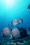 schooling gray angelfish, Pomacanthus arcuatus, near Spanish Wells, Bahamas; rare behavior; this species normally occurs in mated pairs and is territorial