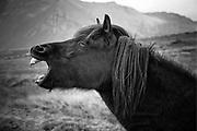 Icelandic horse yawn