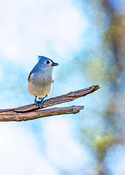 A tufted Titmouse strikes a pose on a bare breach on a chilly morning with flurries beginning to fall